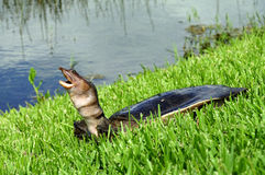 Tortue de la Floride Softshell Image stock