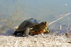 Tortue de marais Photos libres de droits