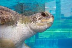 Tortue de mer à un aquarium Photo libre de droits