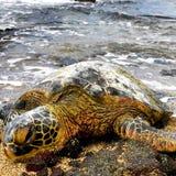 Tortue de mer Photos libres de droits