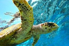 Tortue de mer Photo libre de droits