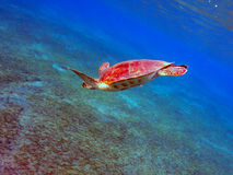 Tortue de mer Photos stock
