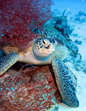 Tortue de mer photos stock