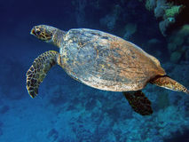 Tortue de mer (caretta de Caretta) Images stock