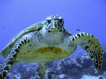 Tortue de mer curieuse de hawksbill (mise en danger) Photographie stock