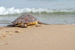 Tortue de mer d'imbécile (caretta de Caretta) Images stock
