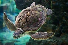 tortue de mer d'imbécile de caretta photographie stock