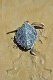 tortue de mer d'imbécile de caretta Image stock