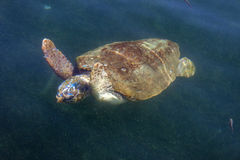 Tortue de mer d'imbécile en mer photos stock