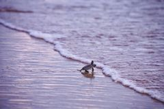 Tortue de mer de bébé Photo libre de droits