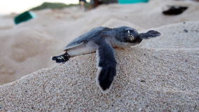 Tortue de mer de bébé Photos libres de droits