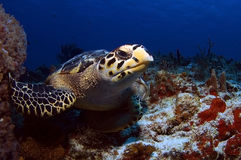 Tortue de mer de Bill de faucons Photographie stock libre de droits