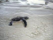 Tortue de mer de chéri dans l'eau Image stock