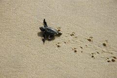 Tortue de mer de chéri sur des impressions de tortue photo stock