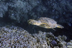 Tortue de mer de Hawksbill Photo libre de droits