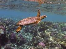 Tortue de mer de Hawksbill Image libre de droits