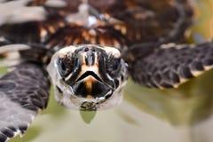 Tortue de mer de Hawksbill Image stock