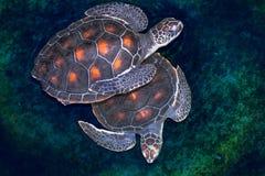 Tortue de mer de Hawksbill Images libres de droits