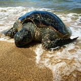 Tortue de mer de Maui Images libres de droits