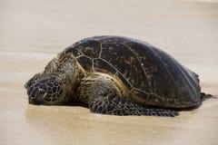 Tortue de mer de sommeil Photographie stock libre de droits