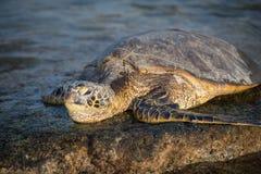 Tortue de mer en Hawaï Photographie stock libre de droits