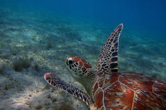 Tortue de mer en mer bleue Photos libres de droits