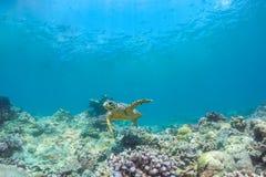 Tortue de mer et belle scène sous-marine avec l'espèce marine au soleil en mer bleue Paradis sous-marin des Maldives Photographie stock