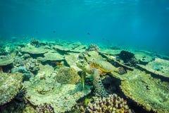Tortue de mer et belle scène sous-marine avec l'espèce marine au soleil en mer bleue Paradis sous-marin des Maldives Image libre de droits
