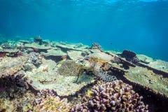 Tortue de mer et belle scène sous-marine avec l'espèce marine au soleil en mer bleue Paradis sous-marin des Maldives Photos stock