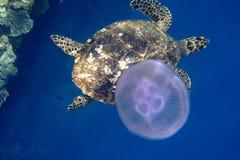 Tortue de mer et méduses image libre de droits