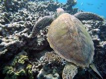 Tortue de mer et récif coralien Photo libre de droits