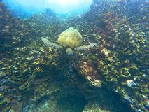 Tortue de mer hawaïenne nageant sous l'eau Images stock