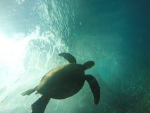 Tortue de mer hawaïenne nageant sous l'eau Photo libre de droits
