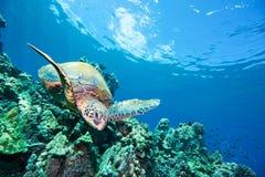 tortue de mer heureuse de récif photos stock