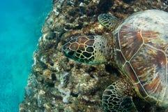 Tortue de mer mise en danger images libres de droits