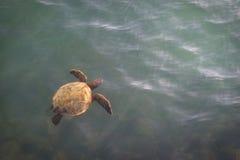 Tortue de mer se levant pour apprêter Image libre de droits