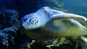 Tortue de mer se reposant dans le grand aquarium Imbricata d'Eretmochelys banque de vidéos