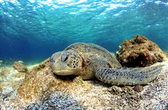 Tortue de mer se reposant sous l'eau Image libre de droits