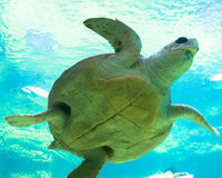 Tortue de mer Shell image stock