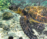 Tortue de mer sous-marine Photo libre de droits