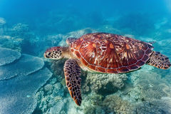 Tortue de mer sur le récif coralien photo stock