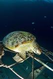 Tortue de mer sur le récif coralien sous-marin Photos libres de droits