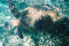 Tortue de mer verte Photos stock