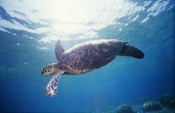 Tortue de mer verte 1 Images libres de droits