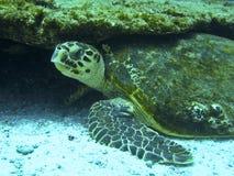 Tortue de mer verte images libres de droits