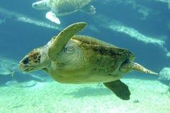 Tortue de mer verte Photo libre de droits