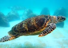 Tortue de mer verte Photos libres de droits