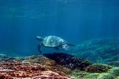 Tortue de mer verte d'Hawaï image stock
