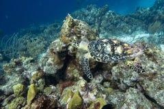 Tortue de mer verte en le Curaçao images libres de droits