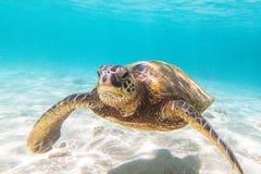 Tortue de mer verte hawaïenne Photo libre de droits